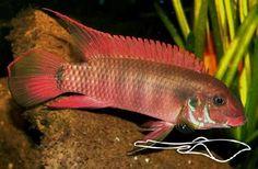 http://www.aquariaveldhuis.nl/index.php?Pelvicachromis-=Pelvicachromis-rubrolabiatus--VISSEN