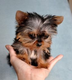 The Popular Pet and Lap Dog: Yorkshire Terrier - Champion Dogs Teacup Yorkie, Yorkie Puppy, Teacup Dogs, Mini Yorkie, Teacup Puppies For Sale, Pomeranian Dogs, Cute Puppies, Cute Dogs, Dogs And Puppies