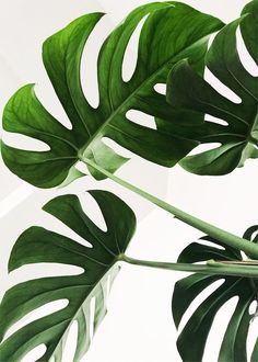 It's Monstera Monday😍🎉 we are getting our interstate subscriptions ready to be shipped of today, how exciting! We can't wait to see all the beautiful monstera posts today! Plant Images, Plant Pictures, Green Pictures, Wall Pictures, Background Pictures, Nature Pictures, House Plants Decor, Plant Decor, Plant Wallpaper