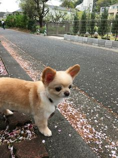 Chihuahua in cherry blossom