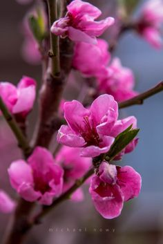 peach blossoms by Michael Nowy on