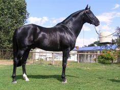 black anglo arab stallion