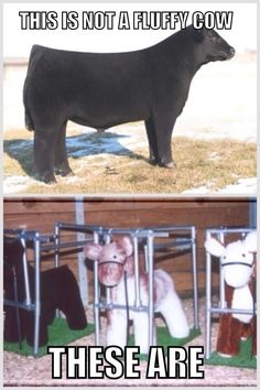 fluffy cows campagne pinterest vache animaux mignons et animaux. Black Bedroom Furniture Sets. Home Design Ideas