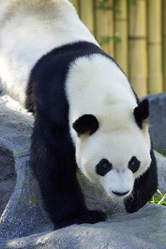 There once was a panda named Rice who had an improbable vice. He claimed it wasn't so but in truth he spent his dough All day and night long throwing dice. Beautiful Creatures, Animals Beautiful, Animals And Pets, Cute Animals, Large Animals, Wild Animals, Panda Names, Panda Love, Pet Birds