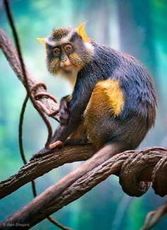 Endangered~Wolf's Mona Monkey  ;)