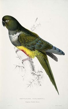 Psittacara patagonica Patagonian Parrakeet-Maccaw in Illustrations of the Family of the Psittacidae, or Parrots, by Edward Lear.