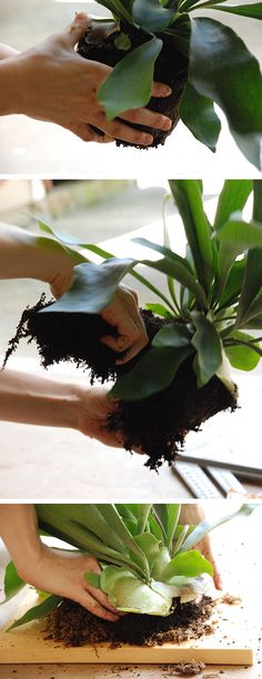 I've been obsessing over the staghorn fern for a while now. Have you seen these? They are so striking! You can pot them in a regular pot too, but mounting them makes for a really interesting …
