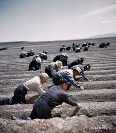 Shorpy Historical Photo Archive :: Japanese American internees transplanting celery at Tule Lake Relocation Center, California. 1942 or 1943. 4x5 Kodachrome transparency, photographer unknown.