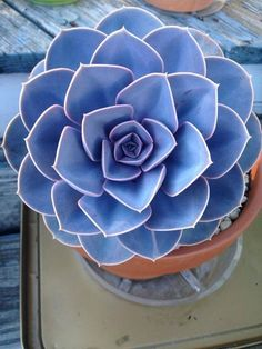 Echeveria Agavoides (blue)