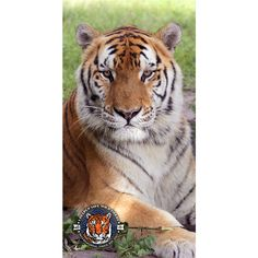 You can now take TJ tiger with you to the beach! We designed a unique line of merchandise, including this TJ tiger beach towel, for International Tiger Day — July 29th! Check it out Tigers911.comBig Cat Rescue will donate the profit from all purchases of our International Tiger Day merchandise — and any donations you make on the ITD merchandise page — plus we will MATCH THE PROFIT DOLLAR FOR DOLLAR up to $5000. Funds will be donated to the Corbett Foundation's work to protect wild ti