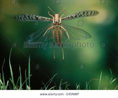 Desert Locust (schistocerca Gregaria) In Flight, Controlled Stock Photo, Royalty Free Image: 71427042 - Alamy