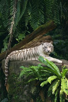 White tiger.... WOWZER