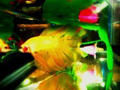 Peixe Betta Foguinho.  Foto de Lauana Fidêncio,  Minas Gerais, Brasil.
