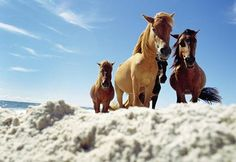 Wild Horses of Assateague Island    The wild horses of Assateague Island National Seashore, located off the coast of Maryland and Virginia, are descendants of domesticated animals brought to the island more than 300 years ago.