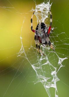 Florida Spiders: Red-femured Spotted Orbweaver