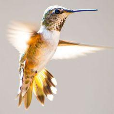 Tracy Johnson fotografias de colibries 8