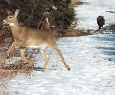 White-tailed deer jumps off pathway at Lynde Shores - Whitby, Ontario