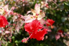 when there's anybody worth talking to - A Hibiscus in Laos PDR. In my limited experience, one of the most beautiful flowers. Every shade imaginable of pink, red, and delicate greens are woven into this flower somewhere.