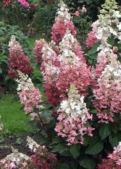 Hydrangea paniculata 'Pink Diamond' – Pink Diamond Hydrangea