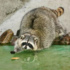 The candid life of a raccoon in 26 pictures                                                                                                                                                                                 More