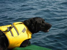 Tucker is an eight-year-old black lab mix and the first and only dog trained to detect the presence and location of whale scat by scent. #conservation #canines