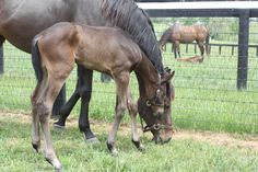 Dancing Flame produced a huge Bernardini colt on May 12th to wrap up our foaling season for 2015.