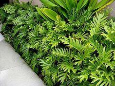Philodendron Xanadu is a tough, low maintenance and versatile plant. - Philodendron Xanadu is a tough, low maintenance and versatile plant. Widely used in Tropical garden - Small Tropical Gardens, Tropical Garden Design, Tropical Landscaping, Small Garden Design, Landscaping Plants, Front Yard Landscaping, Tropical Plants, Small Garden Bed Ideas, Landscaping Ideas