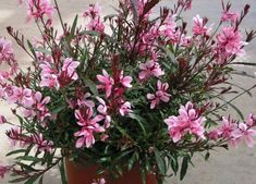 gaura plant - one of my favorite outdoor plants. and comes back every year bigger sp pretty! Flower Beds, My Flower, Flower Power, Outdoor Plants, Garden Plants, Gaura Plant, Texas Plants, Backyard Water Feature, Drought Tolerant Plants