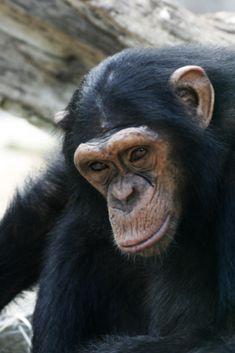 CHimpanzé zoo Beauval