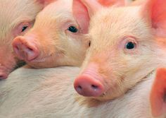 cute piggies @White Stuff UK #makesmehappy