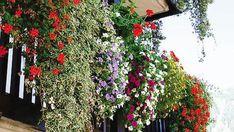 Piante e fiori da balcone resistenti | Places to Visit | Pinterest ...