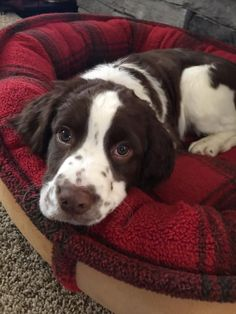 "Visit our site for more info on ""English spaniel"". It is an excellent area to get more information. Springer Spaniel Puppies, Spaniel Dog, Spaniels, Tiny Baby Animals, Cute Animals, Cute Little Puppies, Cute Dogs, Bluetick Coonhound, English Springer Spaniel"