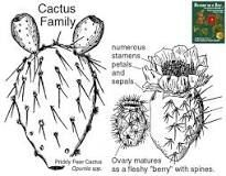 https://www.wildflowers-and-weeds.com/Plant_Families/Cactaceae.htm