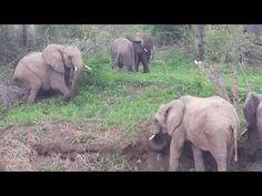 Elephants celebrating new years in style - YouTube Elephant Videos, Elephant Gif, Animals Beautiful, Cute Animals, Types Of Animals, Rhinos, Creatures, Friends, Celebrities