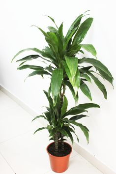 Indoor Plants creating a serenity wherever they're placed! Here, in the pic is the display of Dracaena Janet Craig. Shop Indoor Plants and planters from Uniflora, by mailing us your purchasing queries at info@uniflora.ae or call us on  04-3216545 for queries #Uniflora #Indoor #Plants #Dubai #UAE