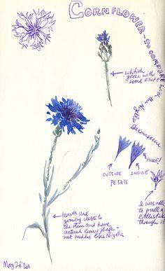 May 2011: Cornflower by apple-pine, via Flickr