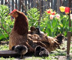 chickens and chicks - Google Search