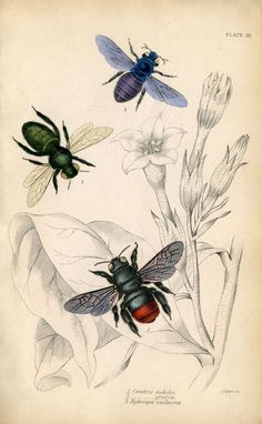 Bees from an 1840's Natural History Book.