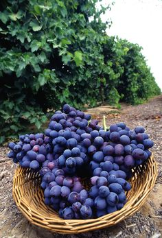 Rare Colour Grape Seeds Healthy And Organic Fruit Seeds Natural Growth Grapes Perennial Outdoor Plants For Garden Purple Food, Red Purple, Fruit Seeds, Growing Grapes, Grape Juice, Organic Fruit, Vitis Vinifera, Home Food