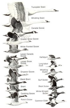 Book from Project Gutenberg: Ducks at a Distance: A Waterfowl Identification Guide Turkey Hunting, Duck Hunting, Hunting Birds, Coyote Hunting, Pheasant Hunting, Duck Identification, Waterfowl Hunting, Migratory Birds, Humming Bird Feeders