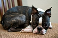 Remi the brindle boston terrier.