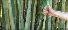 Picture of Angel Mist Bamboo Giant Bamboo, Bamboo In Pots, Bamboo Plants, Bamboo Hedge, Clumping Bamboo, Angel Pictures, Common Names, Do It Right, Tropical Leaves