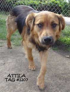 UPDATE-ADOPTED! AVAILABLE 7/18! STRAY  Tag# 1207 Name is Attila  Labrador/Shepherd Male-not neutered  Approx. 1 year old Approx. 45 lbs.  Sweet boy that is laid back  https://www.facebook.com/photo.php?fbid=669991466405009&set=a.669990753071747.1073742034.267166810020812&type=3&theater