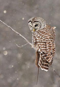 Barred owl in the snow - Mircea Costina Photography [fineartamerica]