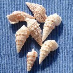 """CERITHS     About 30 species are found on warm North American coasts. These shells range in height from 1/8"""" to 6"""".  They have a pointed tip and sculpted whorls decorating the exterior of these slender shells."""
