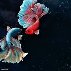 Betta fishes on a  blue background design resource | premium image by rawpixel.com / Te Dark Backgrounds, Wallpaper Backgrounds, Wallpapers, Aggressive Animals, Fish Drawings, Animals Of The World, Free Illustrations, Betta Fish, Tropical Fish