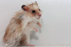 Golden Dominant Spot Rex lh hamster (Dsdsllrxrx)