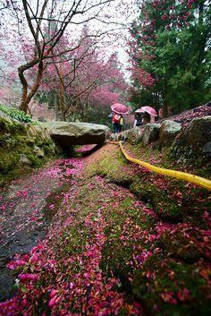 Sakura festival in Formosan aboriginal culture village, Nantou County, Taiwan  (by macg0510)