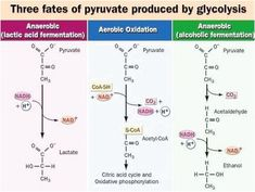 This diagram shows the 3 fates of pyruvate,aerobic oxidation, lactic acid fermentation, and ethanol fermentation :D Cell Biology, Ap Biology, Molecular Biology, Glycolysis Pathways, Biochemistry Notes, Citric Acid Cycle, Pharmacology Nursing, Metabolism, Studio