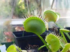 Venus flytrap - Dioneae - Carnivorous plant